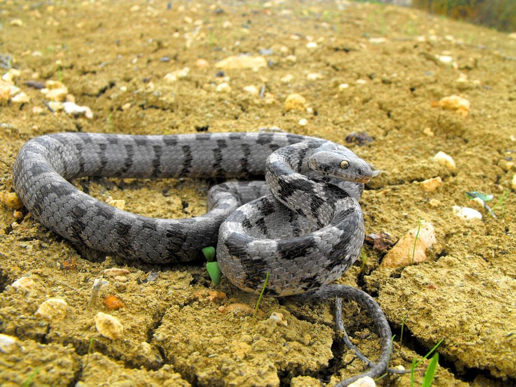 Котешка змия (Telescopusfallax)