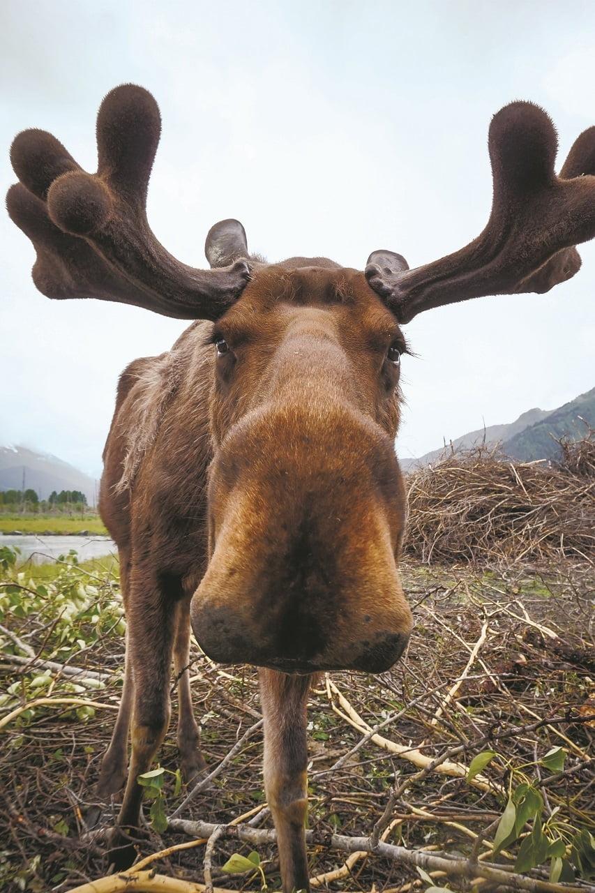 moose carl